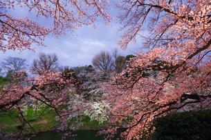 千鳥ヶ淵の桜ライトアップの写真素材 [FYI02992977]