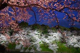千鳥ヶ淵の桜ライトアップの写真素材 [FYI02992978]