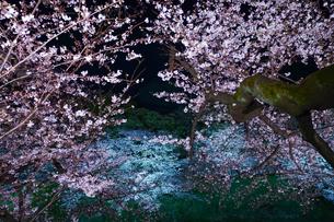 千鳥ヶ淵の桜ライトアップの写真素材 [FYI02992979]