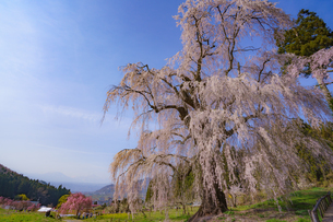水中(みずなか)の枝垂れ桜の写真素材 [FYI02992987]