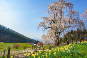 水中(水中)の枝垂れ桜と青空と水仙の写真素材 [FYI02992989]