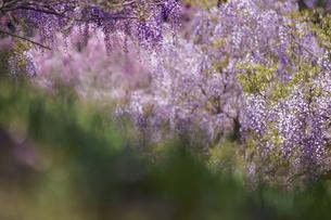 藤の花の写真素材 [FYI02992991]