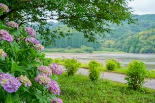 大隅湖のアジサイの写真素材 [FYI02992992]