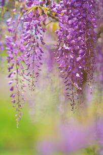 藤の花の写真素材 [FYI02992997]
