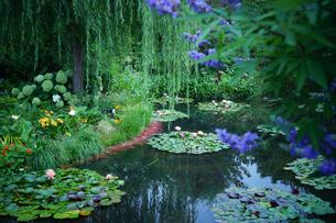 睡蓮の池の写真素材 [FYI02993026]