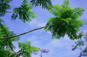 ジャカランダの花と青空の写真素材 [FYI02993048]