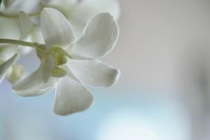 純白のデンファレの写真素材 [FYI02993049]