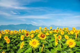 明野ヒマワリ花畑と南アルプス甲斐駒ケ岳鳳凰三山など南アルプス国立公園の山並みの写真素材 [FYI02993059]