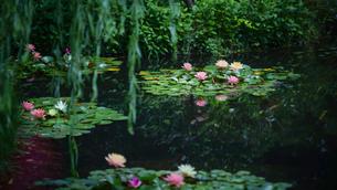 睡蓮の池の写真素材 [FYI02993078]