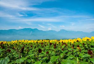 明野ヒマワリ花畑と南アルプス鳳凰三山・甲斐駒ケ岳などの山並みの写真素材 [FYI02993152]