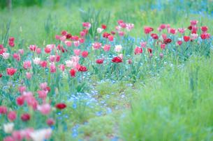 チューリップの花の写真素材 [FYI02993162]