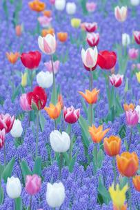チューリップとムスカリの花の写真素材 [FYI02993164]