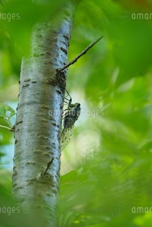 木に止って鳴くミンミンゼミの写真素材 [FYI02993266]