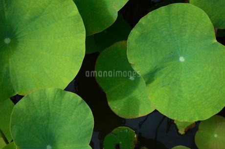 水面に浮かぶハスの葉の写真素材 [FYI02993415]