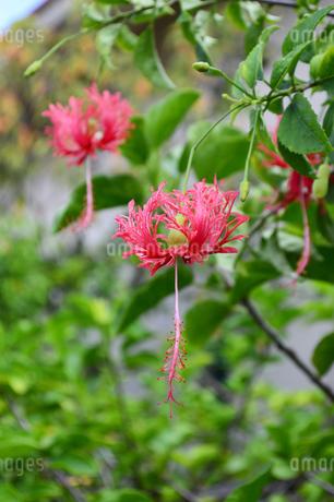 南国沖縄のハイビスカスの花の写真素材 [FYI02993416]