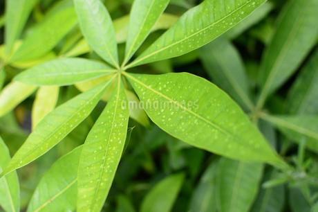 雨粒が残る放射状に広がる葉の写真素材 [FYI02993418]