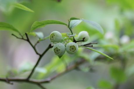 ブルーベリーの栽培の写真素材 [FYI02993458]