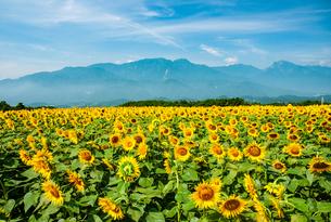 明野ヒマワリ花畑と南アルプスの山並みの写真素材 [FYI02993544]