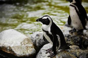 ペンギンの写真素材 [FYI02993756]