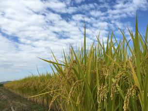 稲と青空の写真素材 [FYI02993787]