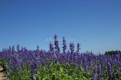 ラベンダー畑の写真素材 [FYI02993792]