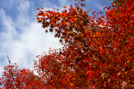 紅葉の写真素材 [FYI02993795]