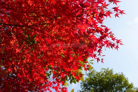 紅葉の写真素材 [FYI02993798]
