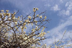 白梅の木の写真素材 [FYI02993802]