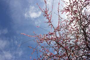 紅梅の木の写真素材 [FYI02993804]