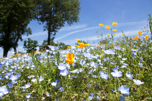 ネモフィラの花畑の写真素材 [FYI02993823]