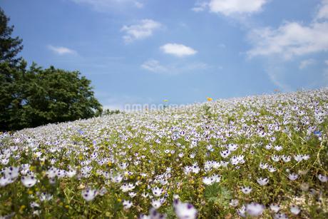 ネモフィラの花畑の写真素材 [FYI02993825]