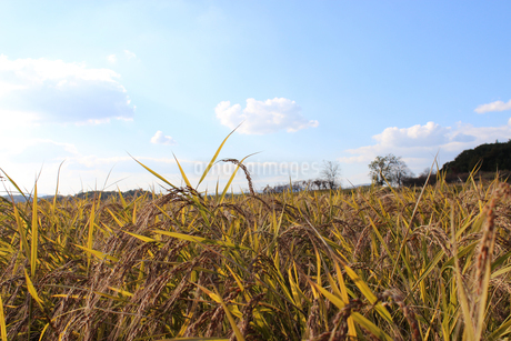 稲と青空の写真素材 [FYI02993826]