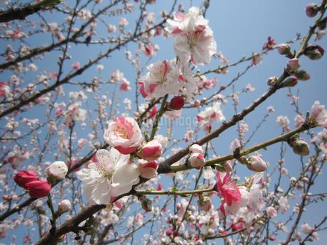 梅の花の写真素材 [FYI02993859]
