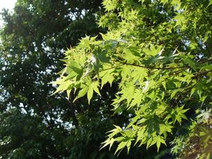 楓の写真素材 [FYI02993933]