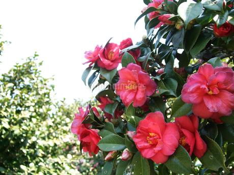 椿の花の写真素材 [FYI02993936]