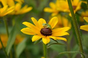 黄色い花とカエルの写真素材 [FYI02993956]