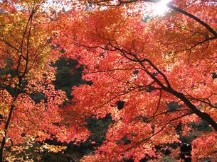 紅葉の写真素材 [FYI02993959]