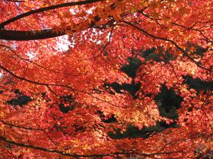 紅葉の写真素材 [FYI02993962]