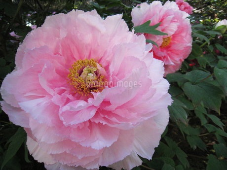 牡丹の花の写真素材 [FYI02993964]