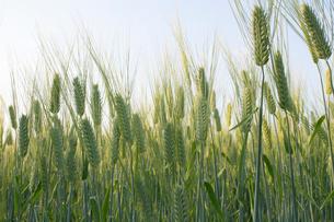 麦畑の写真素材 [FYI02993967]