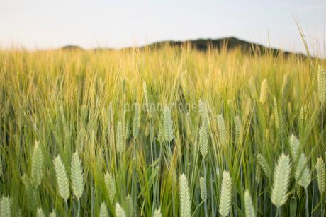 麦畑の写真素材 [FYI02993970]