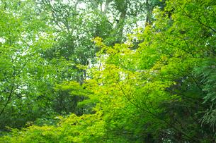 楓の写真素材 [FYI02993981]