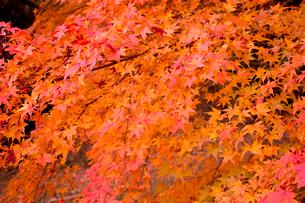 紅葉の写真素材 [FYI02993985]