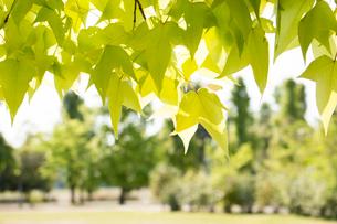 ハナノキの葉の写真素材 [FYI02993989]