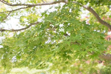 楓の写真素材 [FYI02993991]
