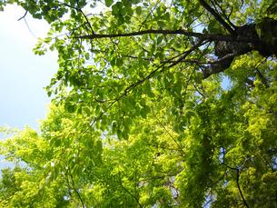 初夏の桜の木の写真素材 [FYI02994013]
