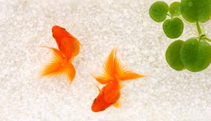 金魚の写真素材 [FYI02994824]