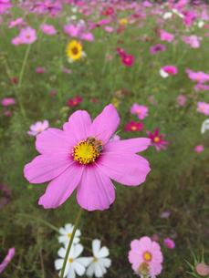 コスモスとミツバチの写真素材 [FYI02994880]
