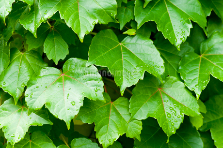 緑のツタの葉の写真素材 [FYI02994900]