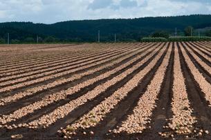 タマネギ畑の写真素材 [FYI02994904]
